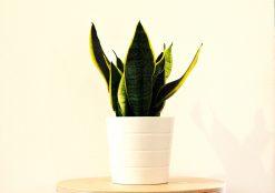 Sansevieria plant - plant kinderkamer - groen in de kinderkamer